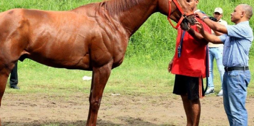 Equinos listos para la justa hípica caribeña