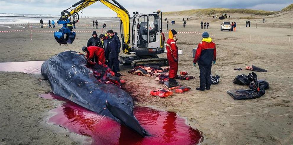 Aparecen muertos 10 cachalotes varados en el litoral del mar del Norte