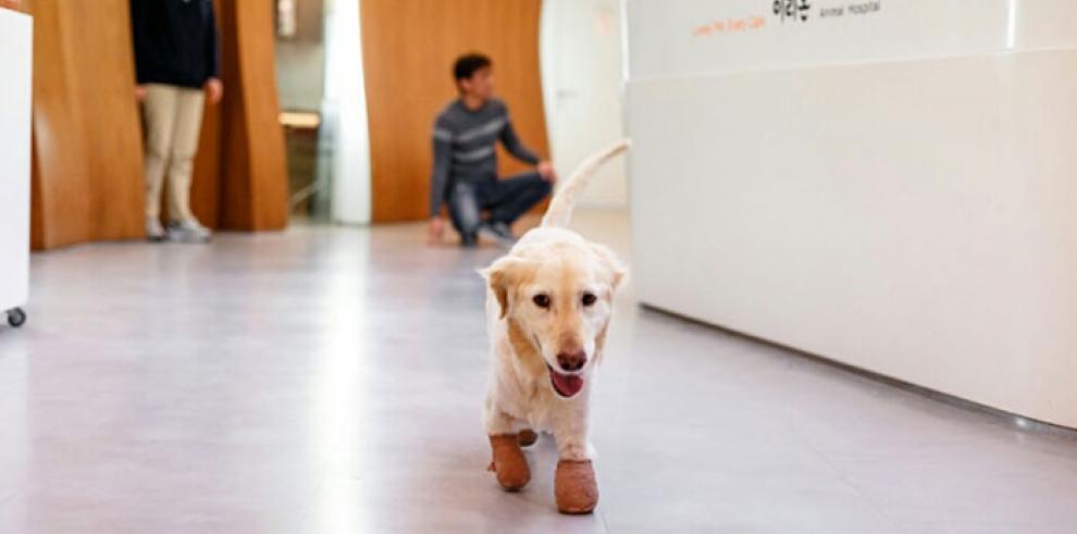 La perrita que perdió sus patas en un matadero de Corea del Sur