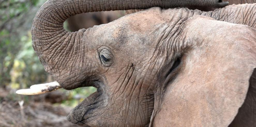 Venta de marfil centra reunión de CITES