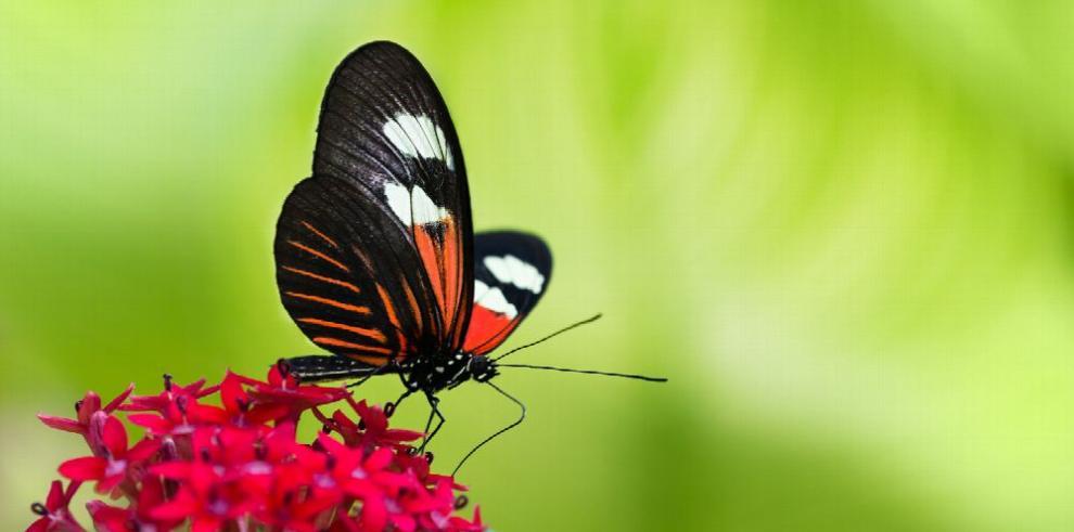 Hallan gen que controla el brillo de las alas de las mariposas