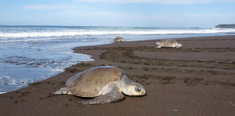 Cien mil tortugas lora llegan a desovar