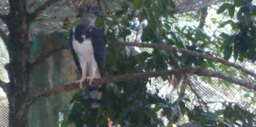 Celebran los siete años de Panamá, el águila harpía