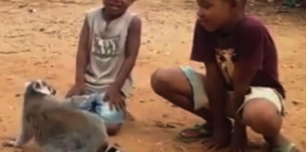 ¡No paren!. Video de lemur que pide le rasquen la espalda, ya es viral