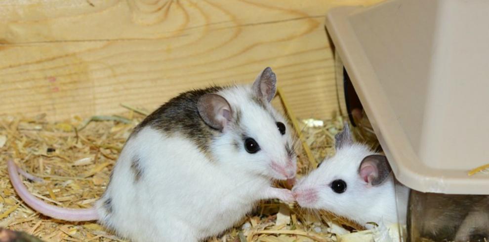 Ratones en el espacio desarrollan problemas de hígado en dos semanas
