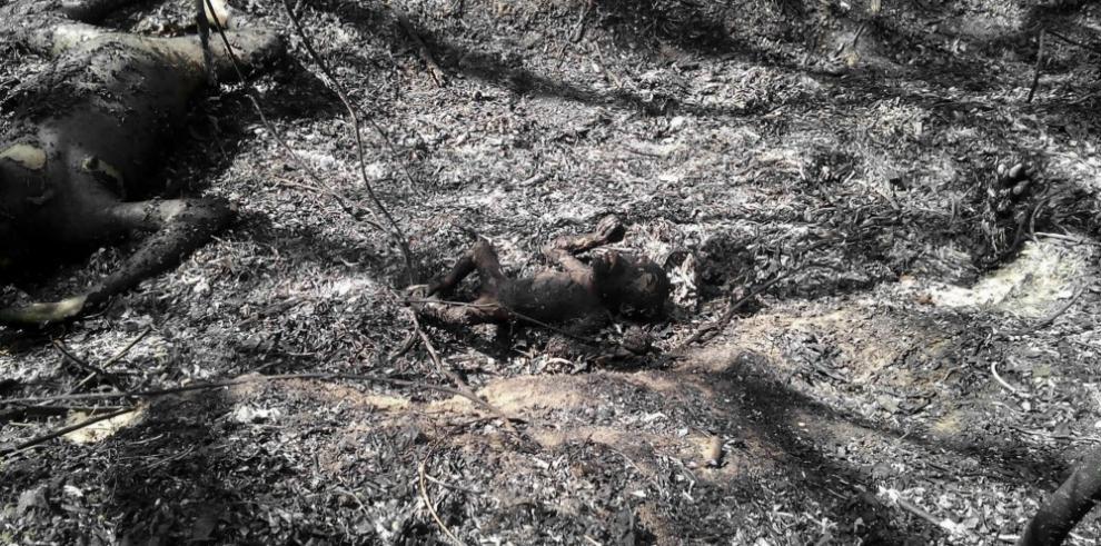 Tres orangutanes quemados vivos en Indonesia