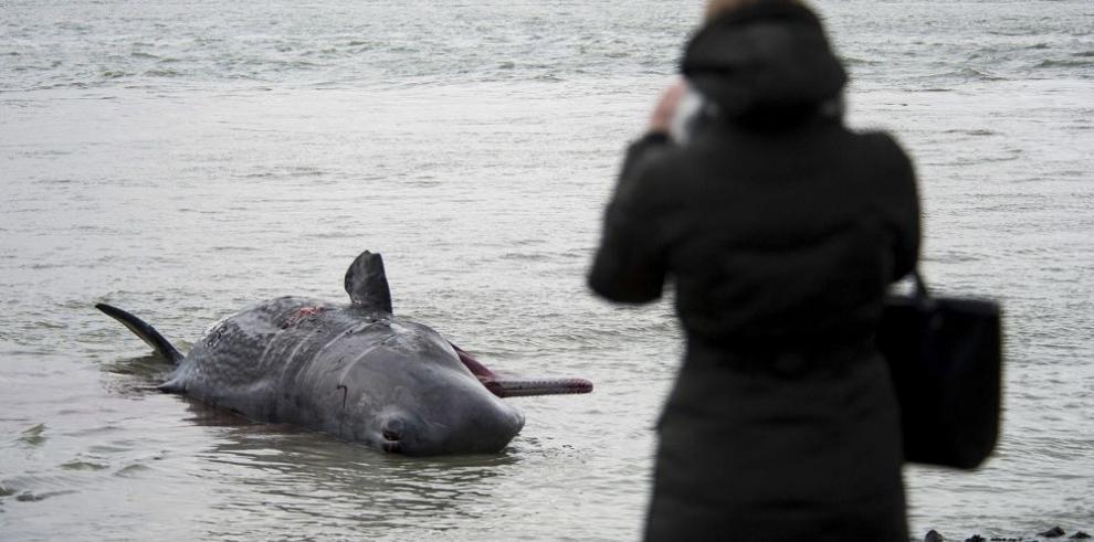 Piden uso de explosivos para sacrificar ballenas