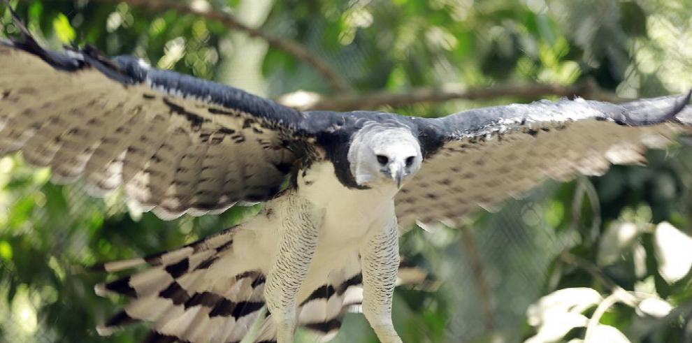 Águila Harpía atrae a familias en el Summit