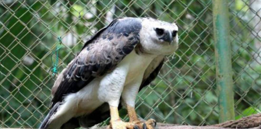 El Summit le busca novia a su águila arpía
