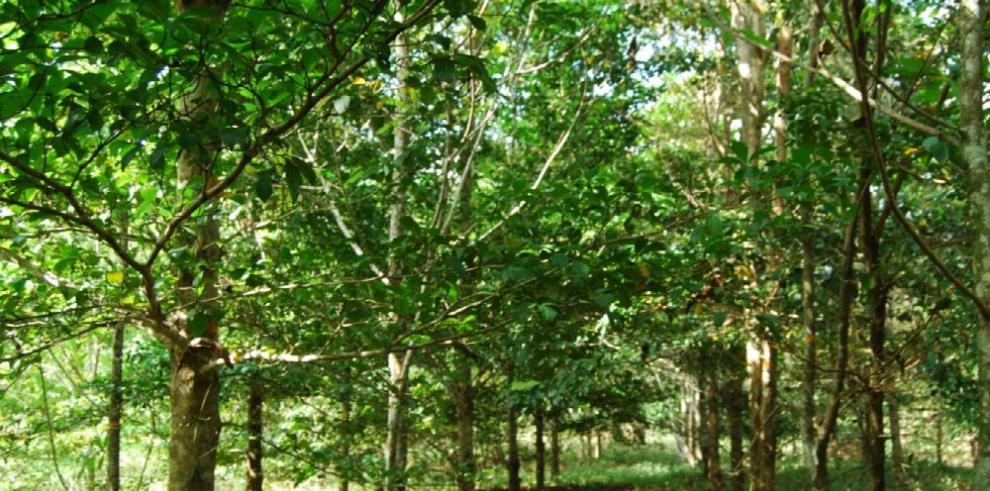 El roble amarillo, más apropiado para la reforestación que la teca