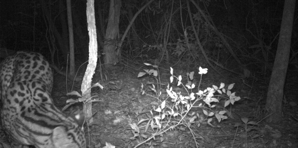 Reaparece felino que se creía extinto hace diez años en Argentina