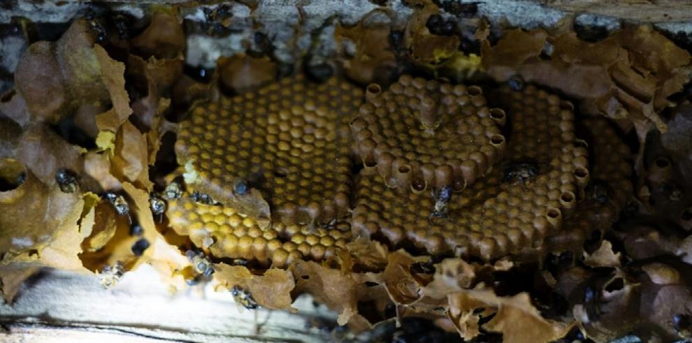 La miel de palo, práctica ancestral que se extingue