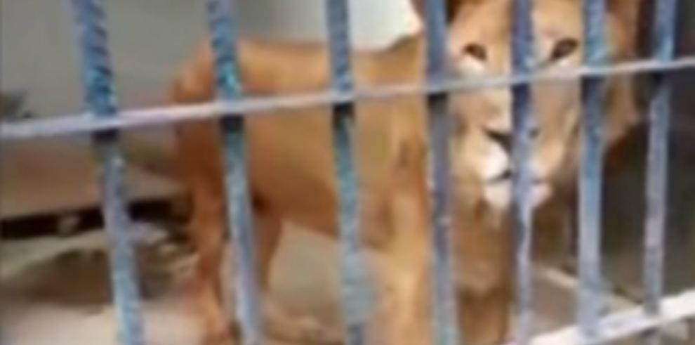 Impactante: León clama por ayuda en zoológico