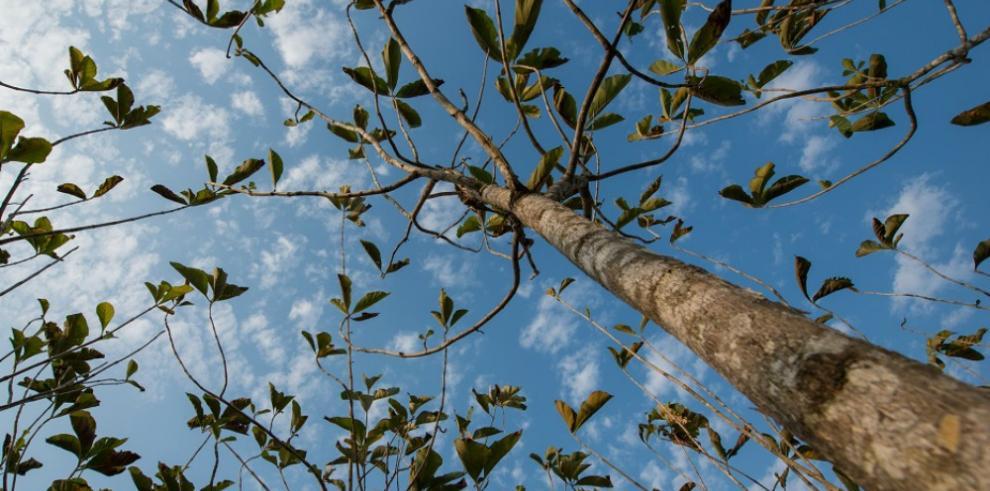 Smithsonian presenta nueva guía sobre árboles nativos de Panamá