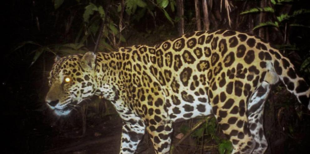 Se extingue el rey de la selva tropical panameña, el jaguar