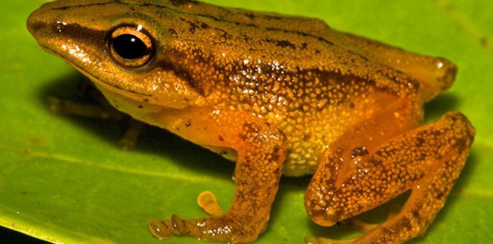Hallan nueva especie de rana dorada