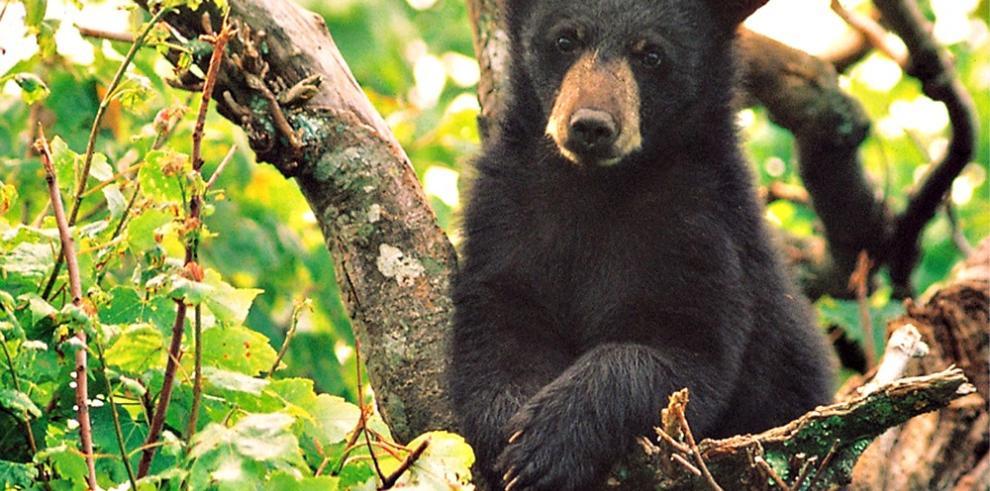 Florida suspende caza controlada de osos negros