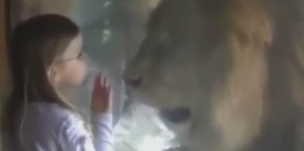 Video: Niña intenta besar a un león y despierta su furia
