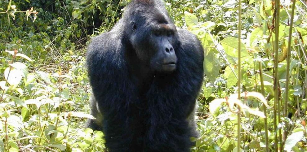 Las guerras en África ponen en peligro a subespecie de gorilas