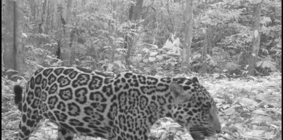 Jaguares, pumas y ocelotes se refugian en cordillera de Toabré