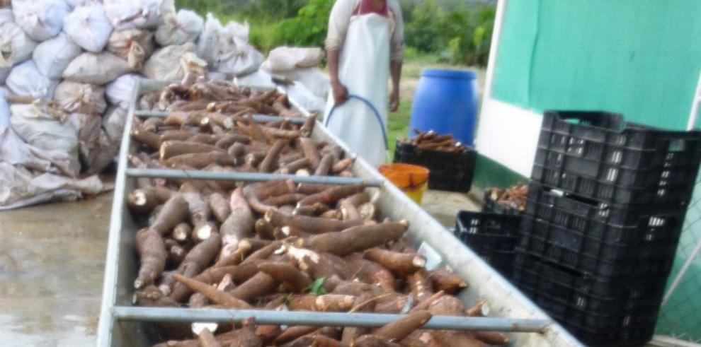 La yuca, alimento clave para frenar las importaciones