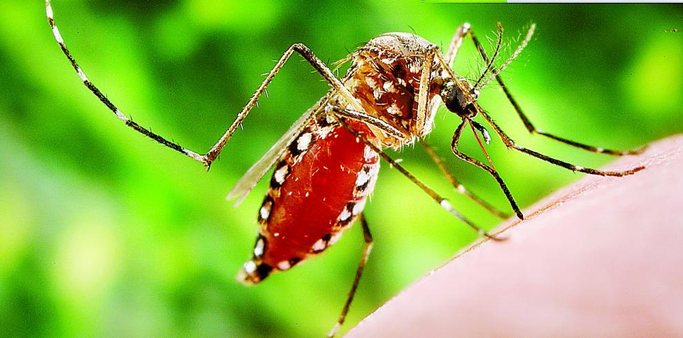 Mosquito Aedes aegypti, sospechoso de causar 734 muertes en Brasil en 2016