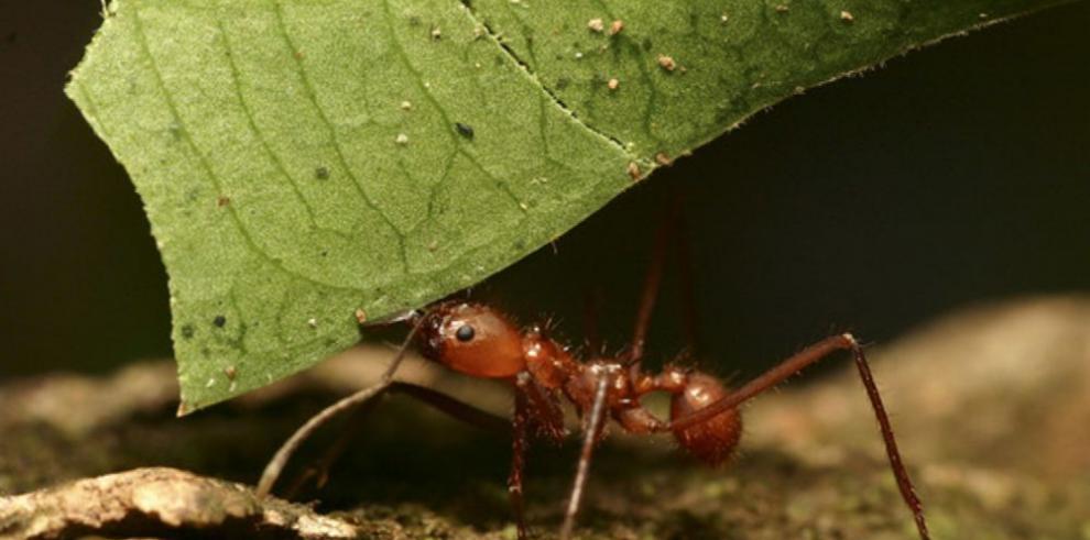 Hormigas invasoras atacan al mundo