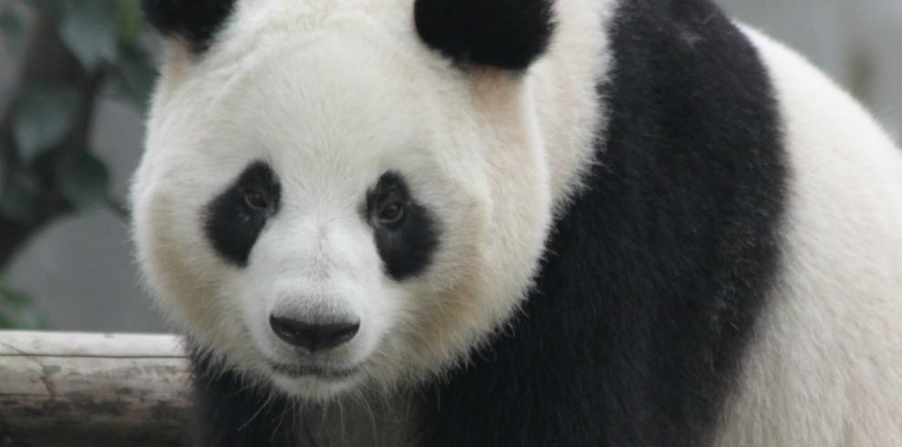 Panda de China se convierte en madre por décima ocasión
