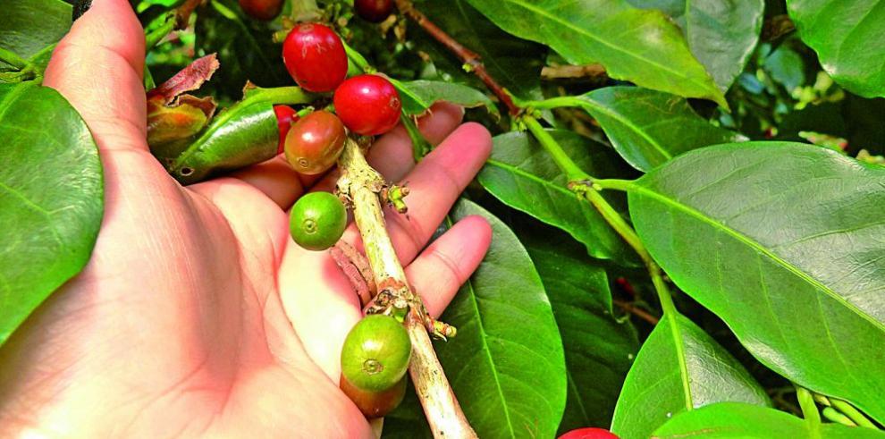 Café fino cultivado en las tierras altas comienza a madurar