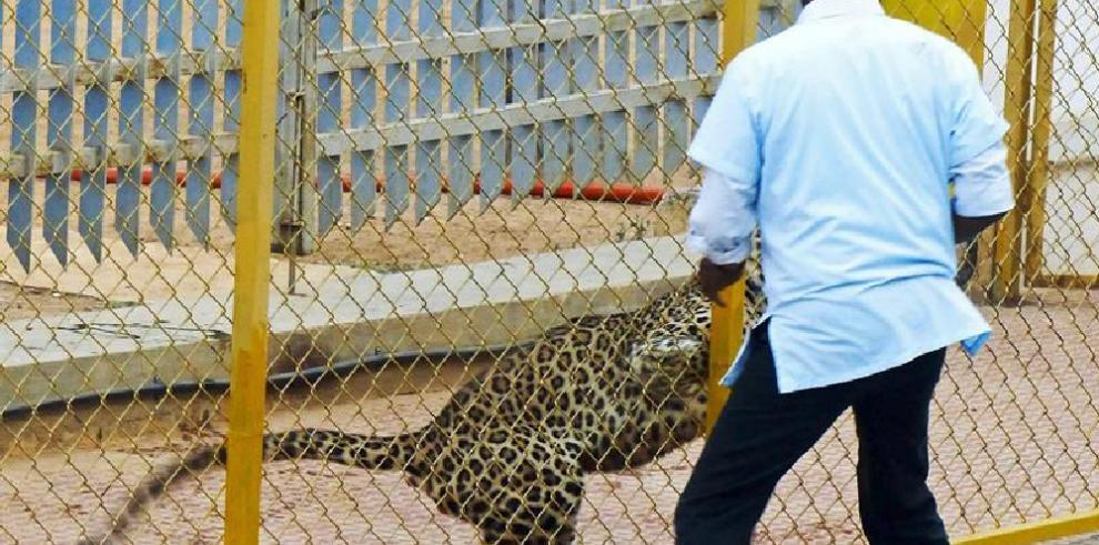 Un leopardo hiere a cinco personas tras entrar a una escuela en India