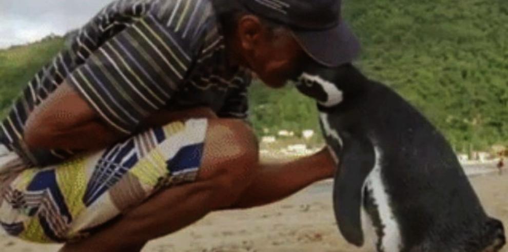 DinDim, el pingüino agradecido que visita a su rescatista
