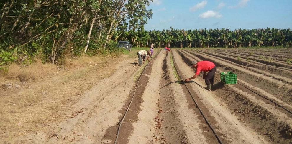 Producción de tomate podríasuperar los $ 4 mil por hectárea