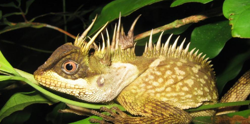 Nueva especie de lagartija