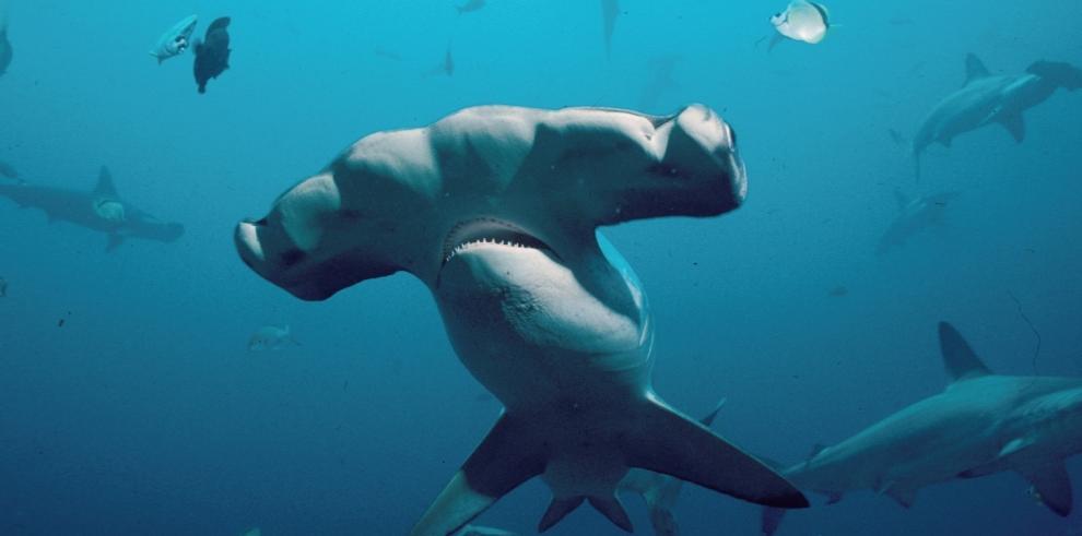 Tiburones son vendidos como vulgares peces en Brasil