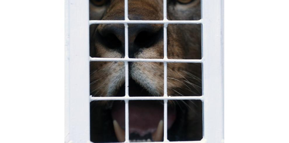 Tras látigo y encierro, 33 leones emprenden viaje a Sudáfrica, su reino