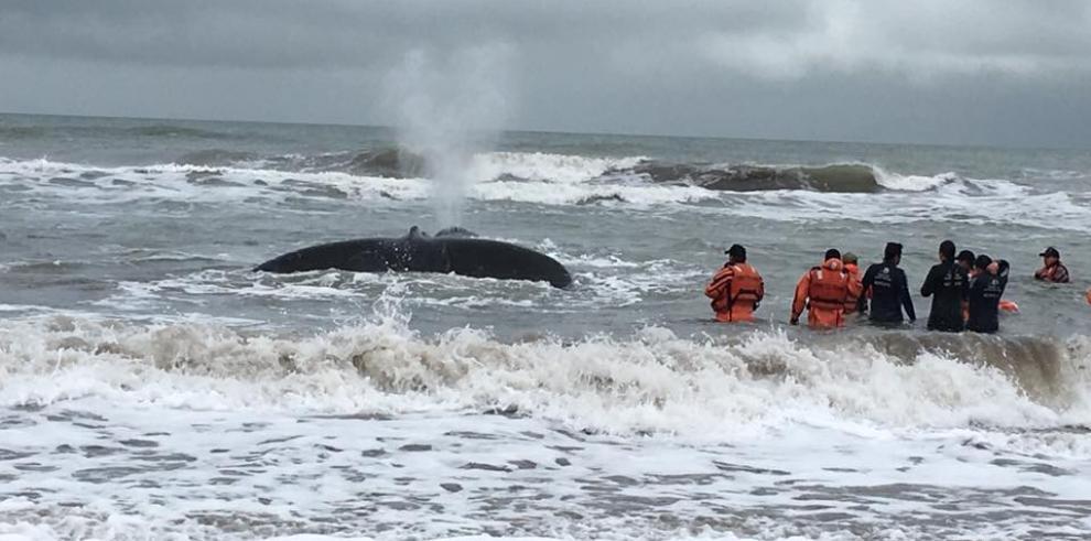 Ballena jorobada en grave peligro tras encallar en costa argentina