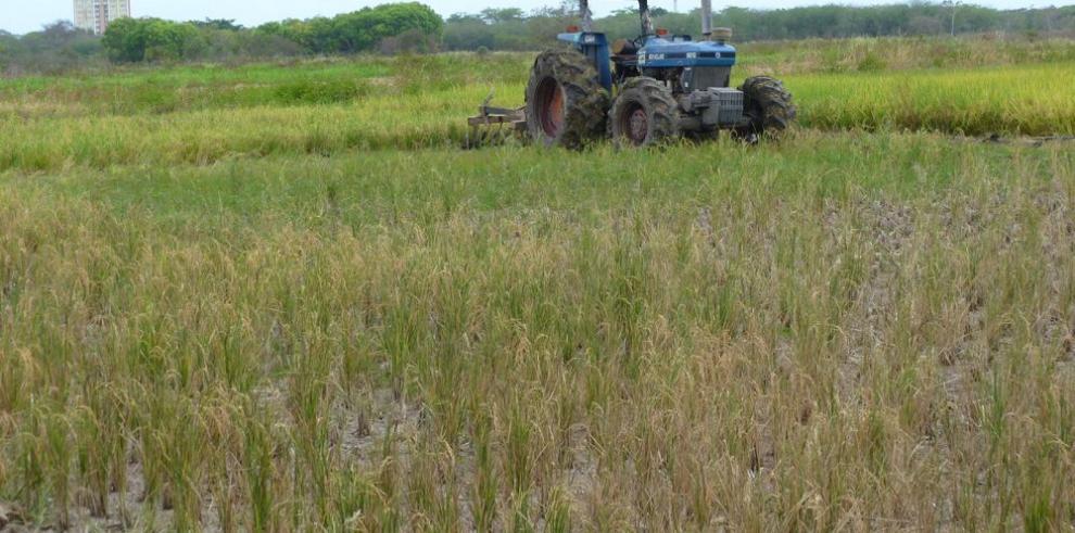 Productores de arroz panameño temen por el futuro del rubro
