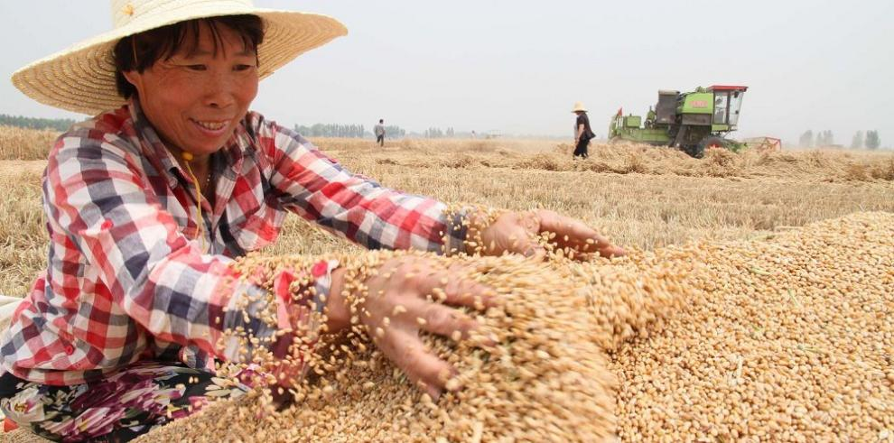 Producción futura de cereal preocupa a FAO