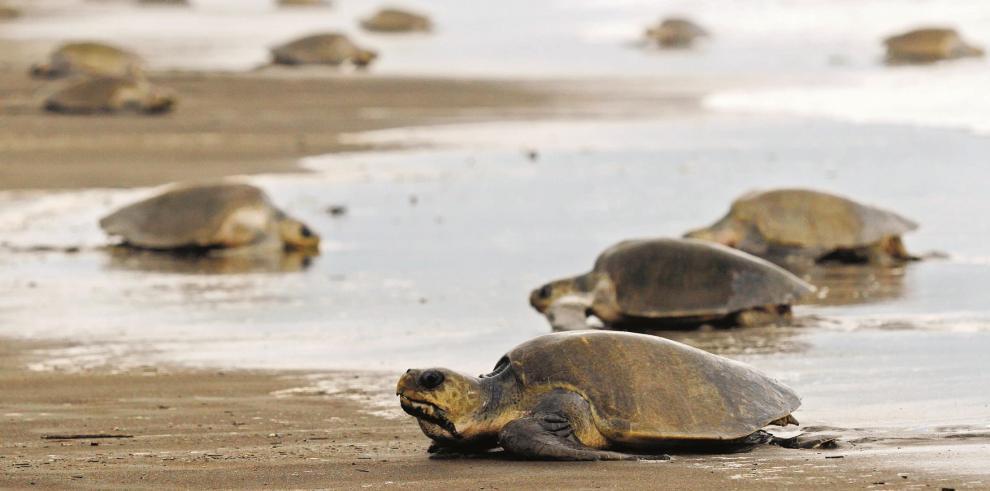 Las tortugas pueden nadar más de cien kilómetros para regresar a casa
