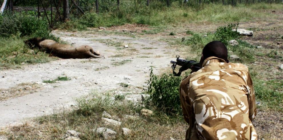 Matan a león que escapó de una reserva en Nairobi