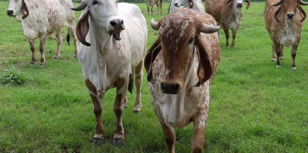 Panamá se alista para exportar carne