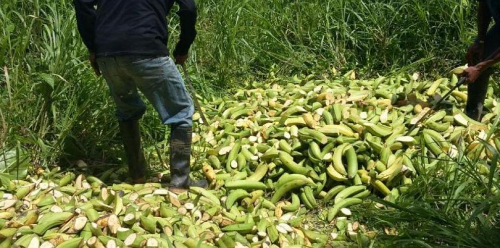 AUPSA justifica la destrucción de más de 9 mil plátanos