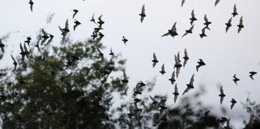 El murciélago, un aliado para polinizar el agave del tequila