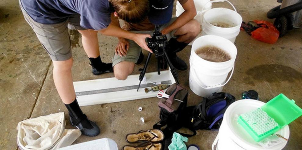 Efecto devastador de pez depredador en un lago de Panamá