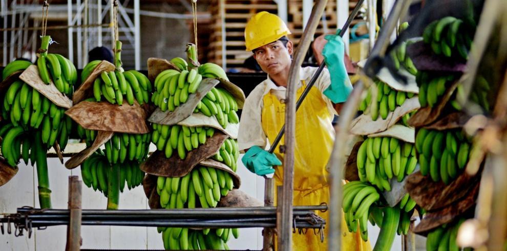 Un nuevo halo de esperanza para la industria bananera de Panamá