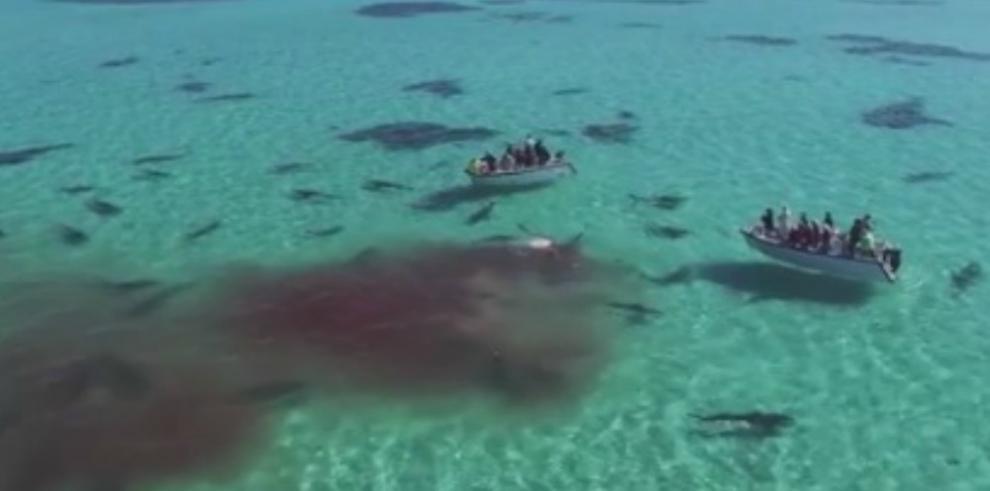 Alrededor de 70 tiburones se devoran una ballena en Australia