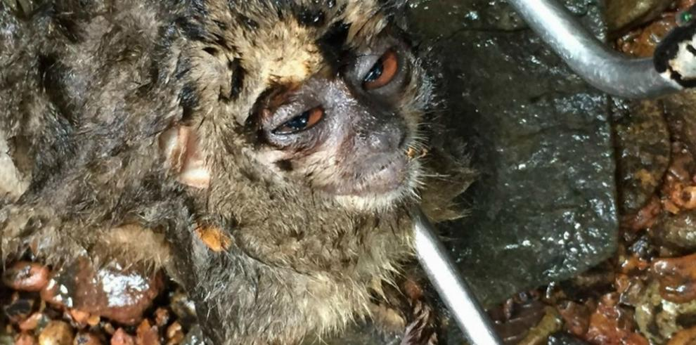 Monos aulladores de Azuero, una prueba del deterioro ambiental
