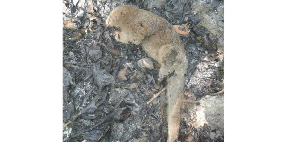 Animales son víctimas de los incendios forestales