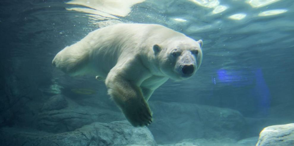 Los osos polares llegan por primera vez al Brasil tropical