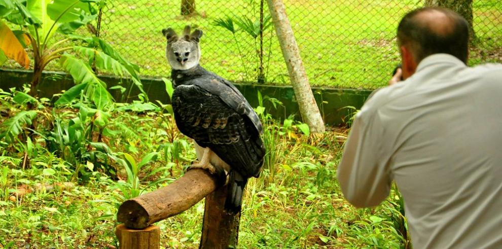 Panamá celebrará sexto aniversario de su ave nacional